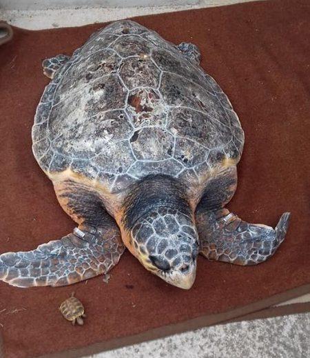 Spašena glavata želva na području Vele Luke